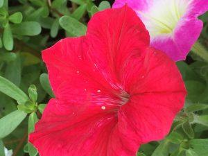 女性のような赤い花