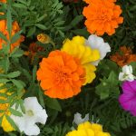 いろんな色の花